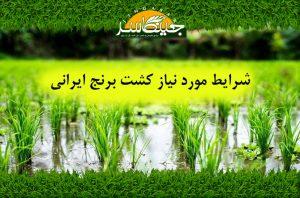 شرایط مورد نياز کشت برنج ایرانی
